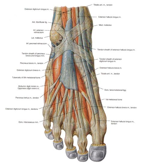 nerves in foot diagram foot anatomy nerves human anatomy diagram