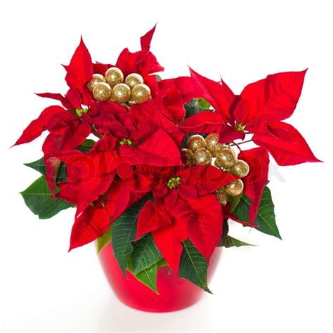 red poinsettia christmas flower with golden decoration