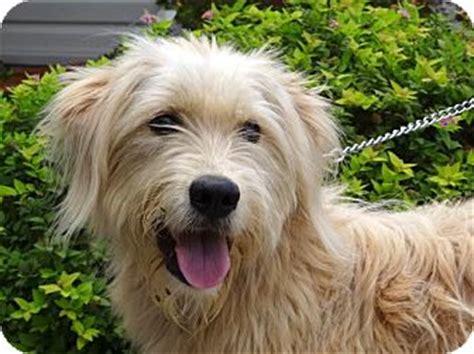 wheaten terrier mix puppies pending adopted westport ct goldendoodle wheaten terrier mix