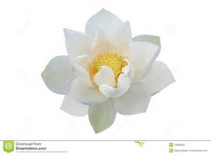 Lily Flower Symbol - white lotus flower stock photography image 14860942