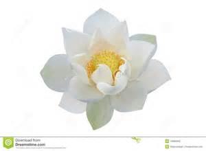 White Lotus Religion White Lotus Flower Stock Photography Image 14860942