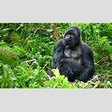 Mountain Gorilla Habitat | 729 x 425 jpeg 100kB