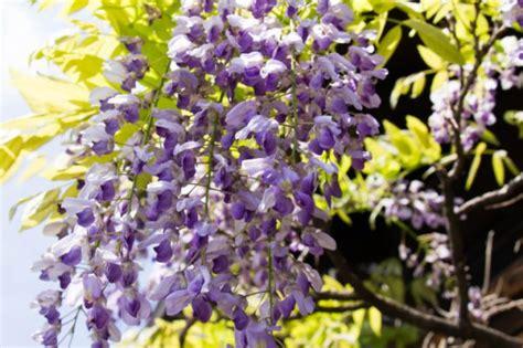 glicine fiori quale glicine scegliere pollicegreen