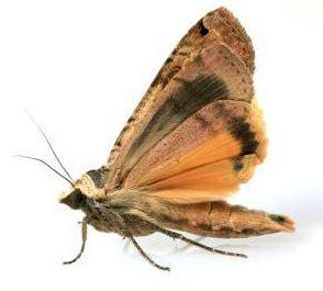 what kills pantry moths clothes moth