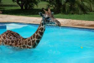 bilder schwimmbad giraffe in swimming pool 6 pics amazing creatures