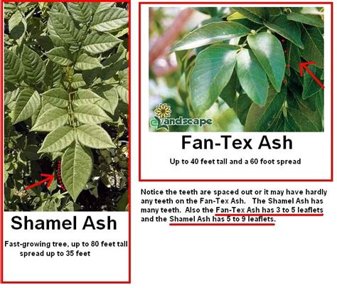 fan tex ash tree ash trees good discussion on the difference between fan