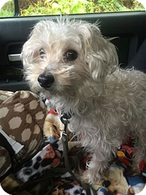 yorkie rescue tucson adopt a poodle t cup find dogs for adoption breeds picture