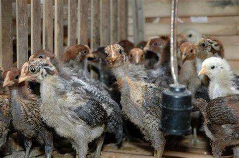 Jual Bibit Ayam Potong Bandung ternak sapi bandung cara beternak ayam broiler yang baik