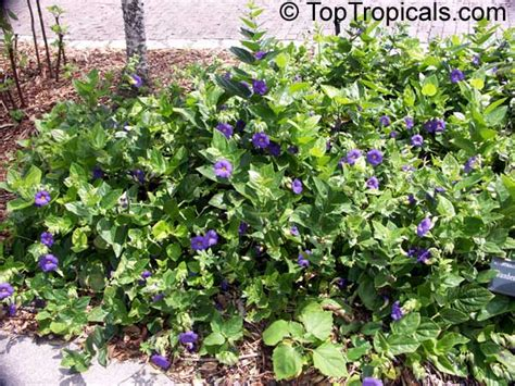 thunbergia battiscombei bengal clock vine blue trumpet