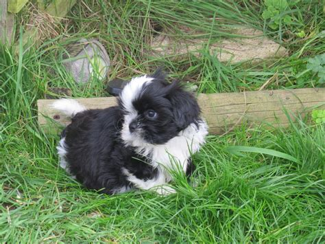 shih tzu puppies for sale in bristol beautiful kc registered shih tzu puppies for sale bristol bristol pets4homes