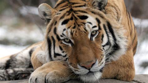 tiger denmark el tigre en peligro de extinci 243 n informacion sobre animales
