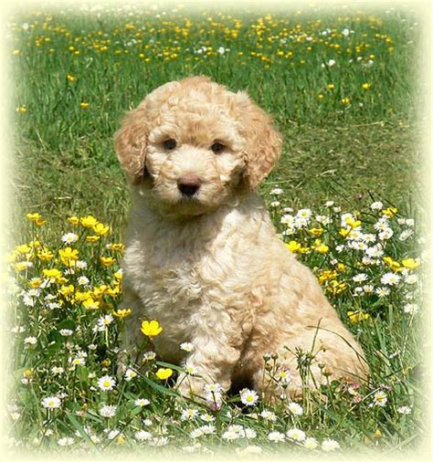 goldendoodle puppies for sale vancouver family and puppies for sale in vancouver copper