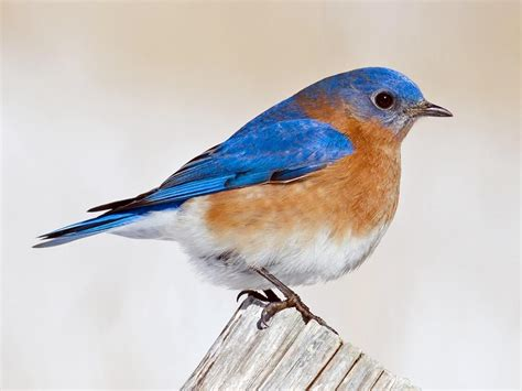 red breasted blue bird www pixshark com images