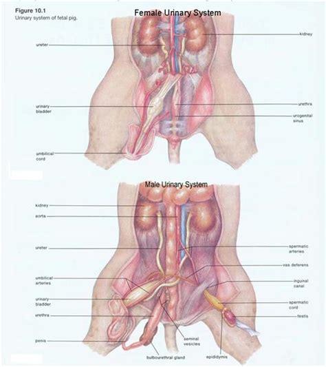 fetal pig stomach diagram banbor velia fetal pig dissection