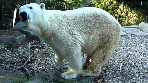 head swinging polar bear shaking head amneville zoo youtube