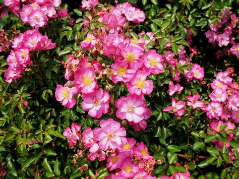 pink flower shrub pink flowering shrub identification related keywords