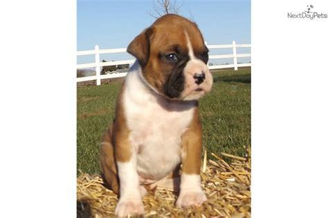 boxer puppies kansas city boxer puppy for sale near kansas city missouri 1eac8d00 5101