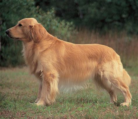 golden retriever facts and info golden retriever breed information and facts alldogsworld