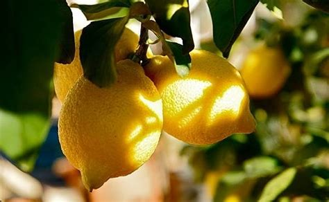 quando e come potare il limone in vaso come potare il limone come potare consigli per potare