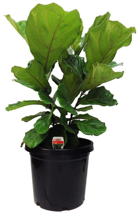 Ficus Lyrata Pflege by Ficus Lyrata Fiddle Leaf Fig 30cm Gardenworld Nursery
