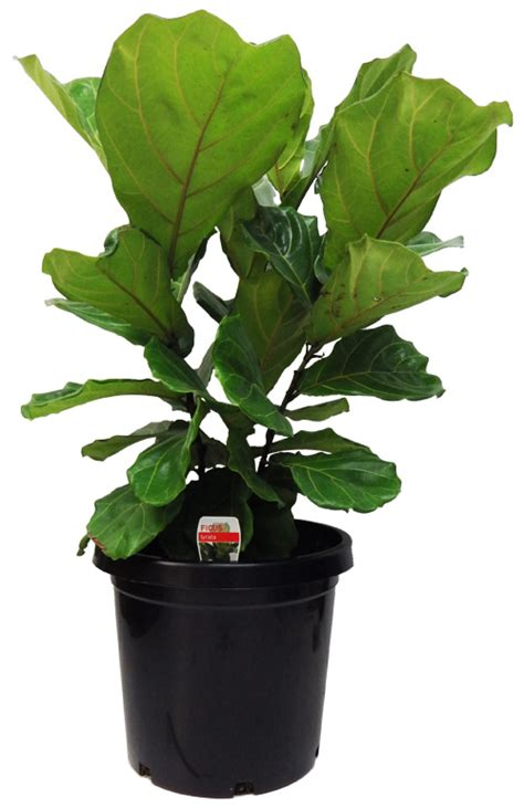 ficus lyrata fiddle leaf fig cm gardenworld nursery