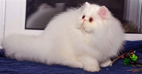 Sho Kucing Dan Harga harga kucing dan anggora