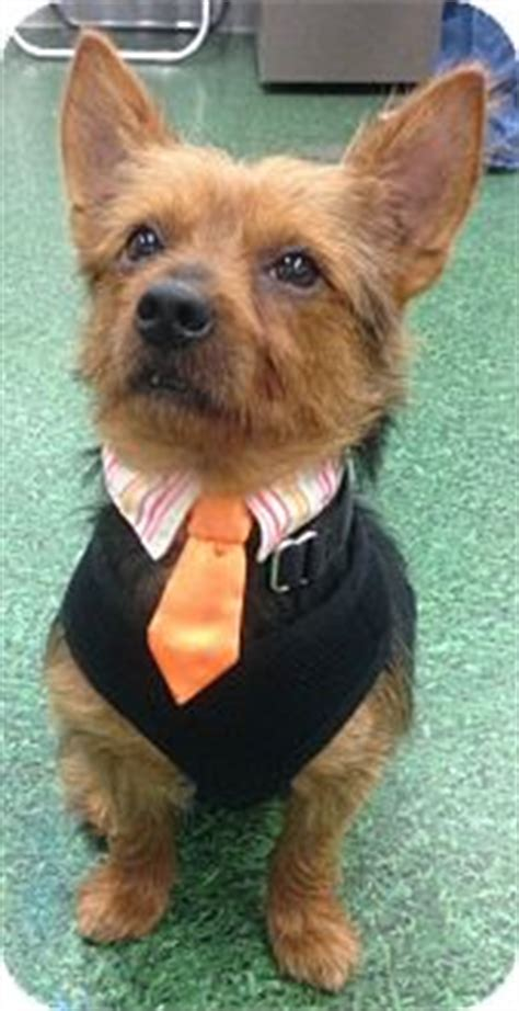 yorkie australian terrier mix scrappy adopted bridgeton mo yorkie terrier australian terrier mix