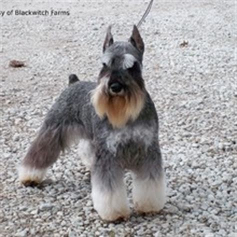 standard schnauzer puppies for sale miniature schnauzer puppies for sale