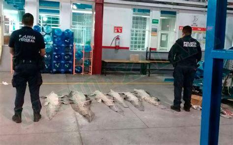policias ladrones y cocodrilos 0545941024 perros polic 237 as detectan pieles de cocodrilo en veracruz diario de xalapa