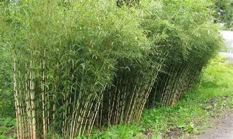 Fargesia Robusta Cbell Kaufen 33 by This Bamboo Is More Sun Tolerant Than Most Other Fargesia