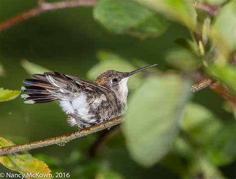 photographing the ruby throated hummingbirds and watching