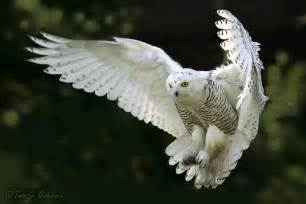 Barn Owl Facts Snowy Owl S General Information
