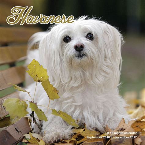 havanese calendar havanese calendar 2017 mgdog33 havanese breeds
