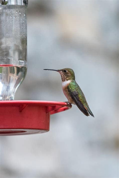 winter hummingbirds southeastern avian research