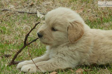 golden retriever puppies for sale in south carolina carolina pup golden retriever puppy for sale near columbia south carolina