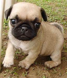 Light Shedding Dogs Pug Small Dog Breeds Dbcentral