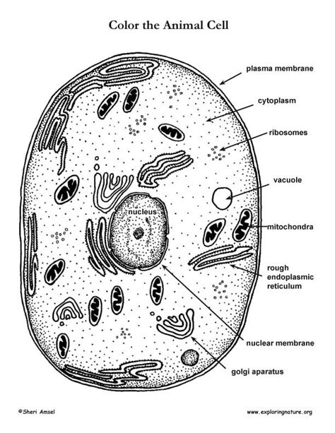 Animal Cell Coloring Page Az Coloring Pages Animal Cell Coloring Page
