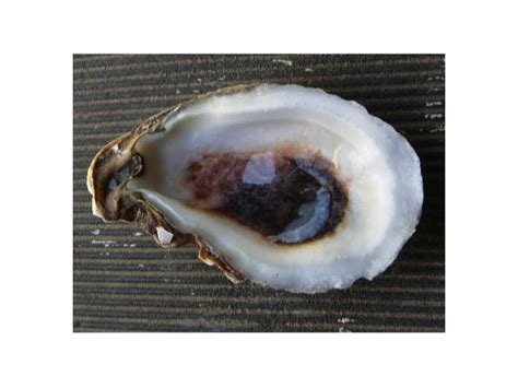 oyster shell i swallowed an oyster shell wrestlingfigs com wwe