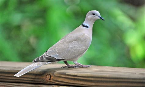 collared dove song call voice sound