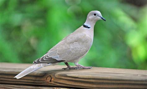 eurasian collared dove song call voice sound