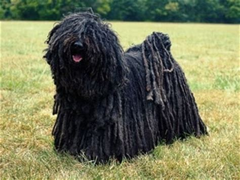dogs with dreads puli with dreads breed s so many dreads the o jays and lol