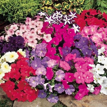 petunia seeds carpet mixed f1 april flowers to plant