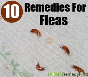 home remedies for flees excellent home remedies for fleas diy find home remedies