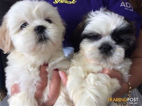 shih tzu puppies for sale brisbane lhasa apso x shih tzu puppies at puppy shack brisbane for sale in brisbane qld lhasa
