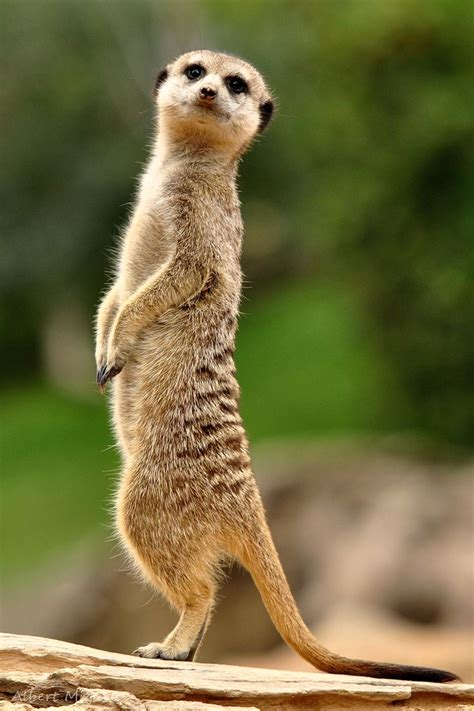 Animal P by 725 Best Meerkat Mania Images On Animal