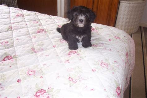 havanese puppies for sale uk havanese puppies for sale ready now redcar pets4homes