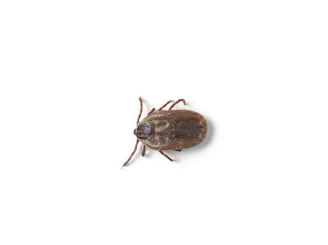 ticks pictures brown ticks treatment removal facts pestworld