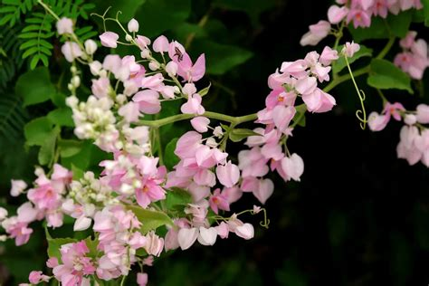 pink flowering climbing plants top 10 climbing flowering plants