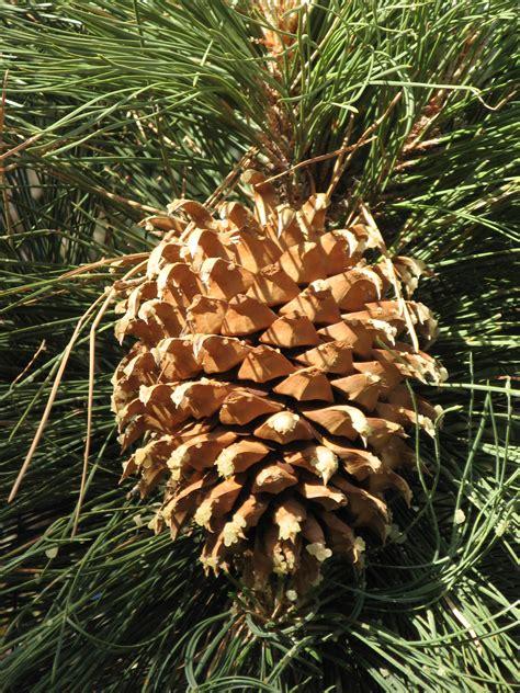 pine cone trees file culter pine cone jpg wikimedia commons