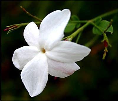 imagenes de flores jasmin jardiner 237 a 187 jazmin